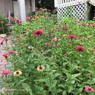 Zinnias in the butterfly garden