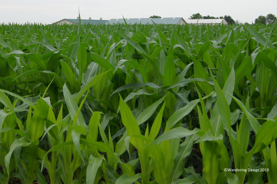 20110621Illinois-Corn-(3)