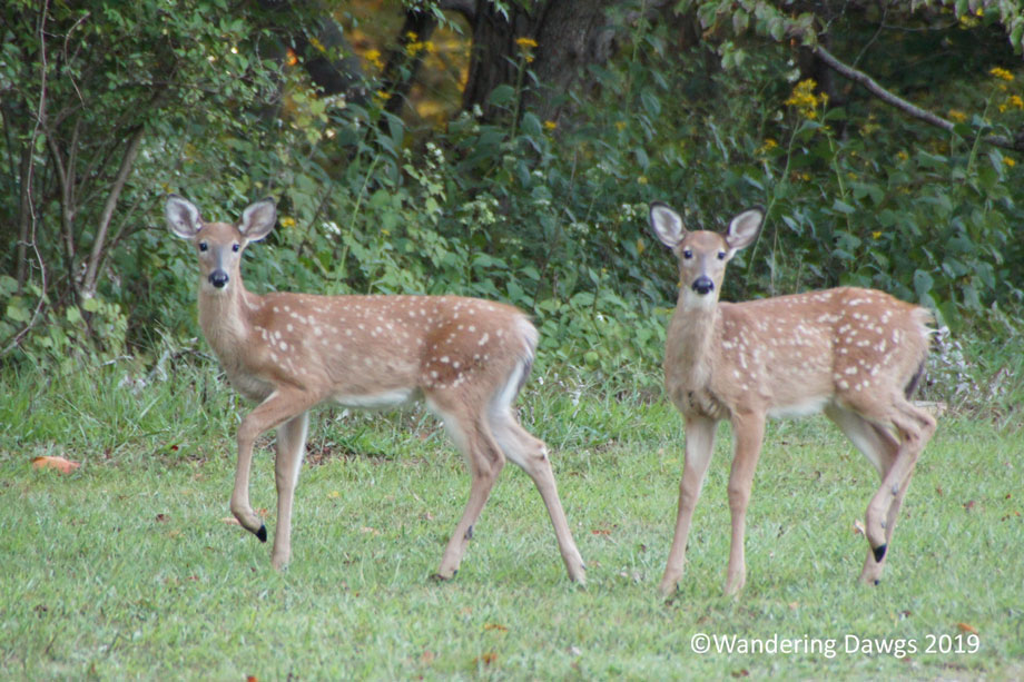20150914Claytor-Lake-Deer-(11)