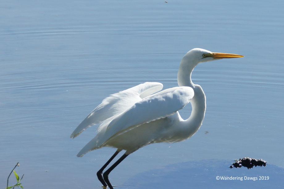 20160919Mississippi-River-State-Park-Egret-(3)
