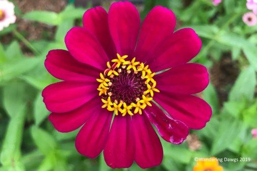 Zinnia in the butterfly garden