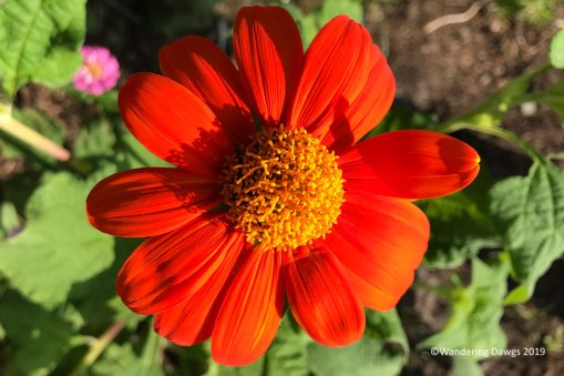 Mexican sunflower in the butterfly garden