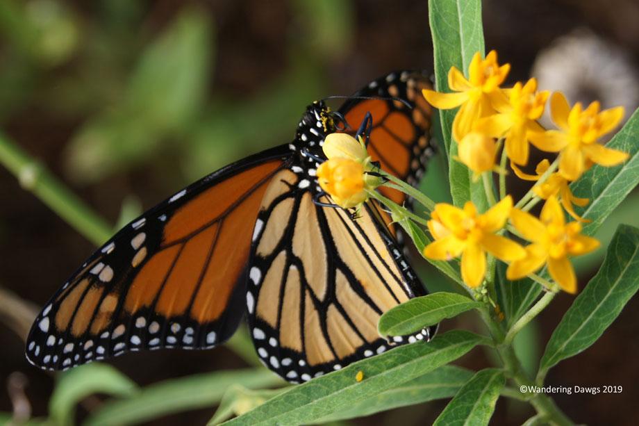 20191006-Monarch-Butterfly-(27)