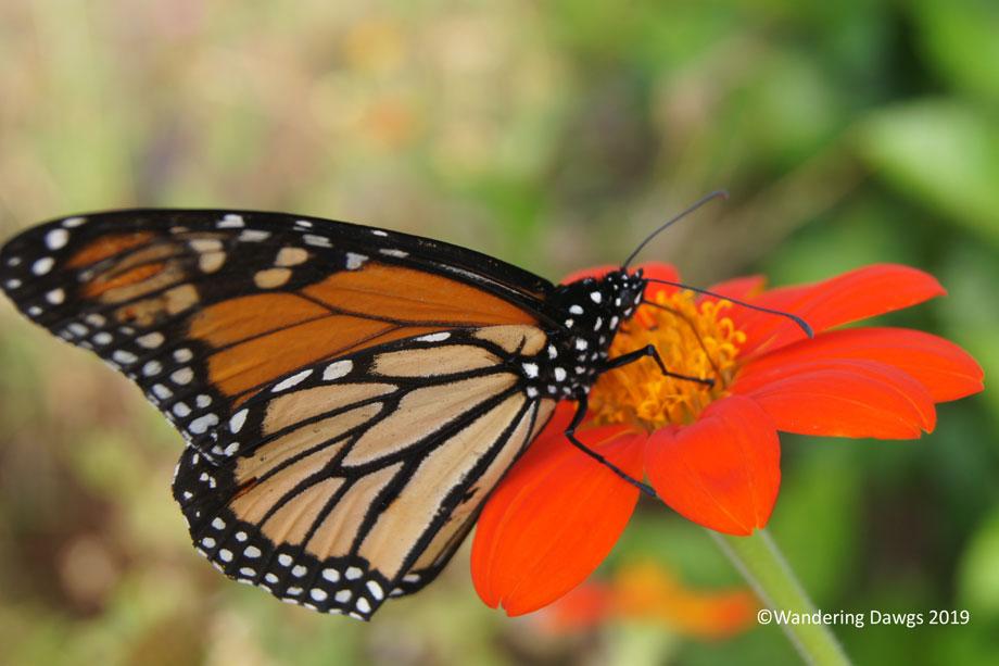 20191006-Monarch-Butterfly-(39)