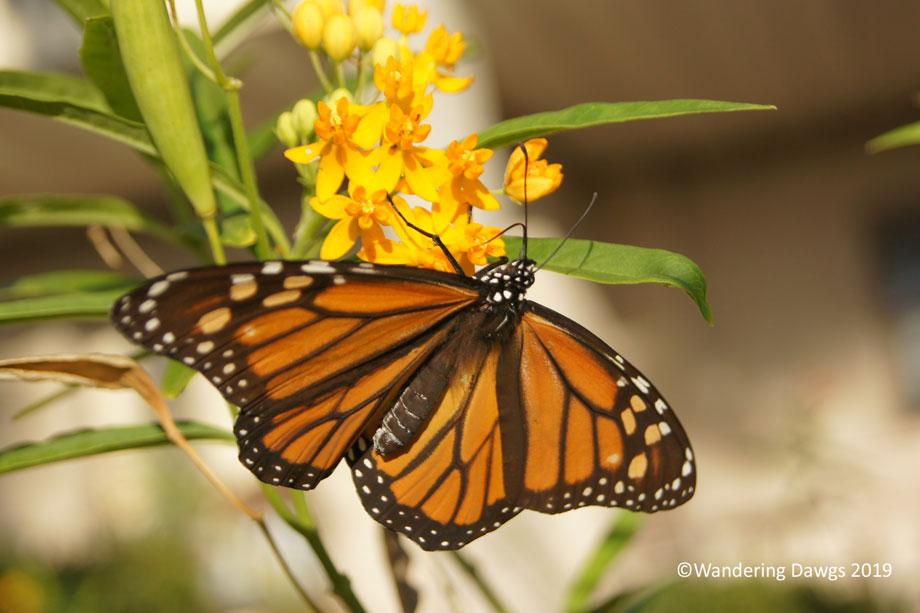 20191112-Monarch-Catterpillar-(25)