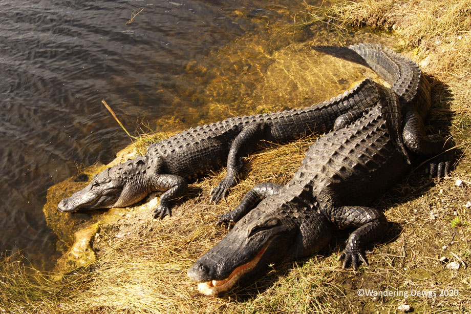 20120116AMAlligators-at-Oasis-(7)