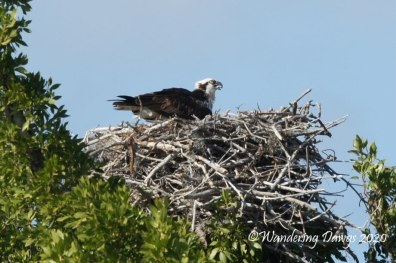Osprey on nest, Everglades National Park, Florida