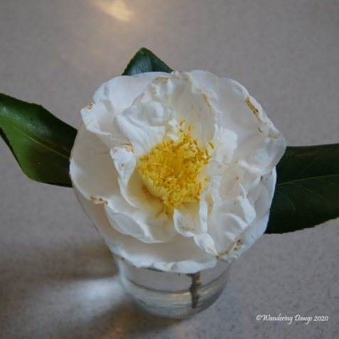 20200204-Camellias-(1)