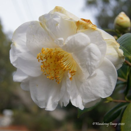White Camellia Bloom February 2020