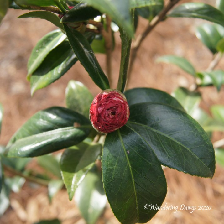 Bud on newly planted Bobbie Fain Variegated Camellia