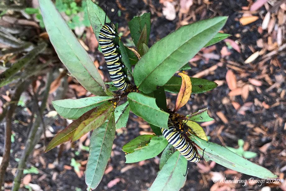 20200409-monarch-caterpillars-(1)