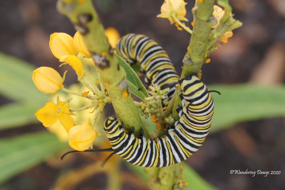 20200409-monarch-caterpillars-(20)