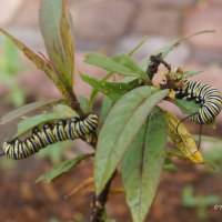 Pairs of Monarch Caterpillars