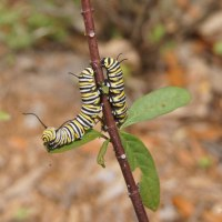 Monarch Caterpillar Update