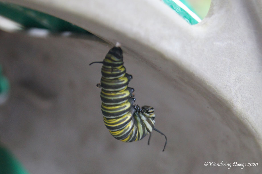 20200410-caterpillars-and-chrysalis-(6)
