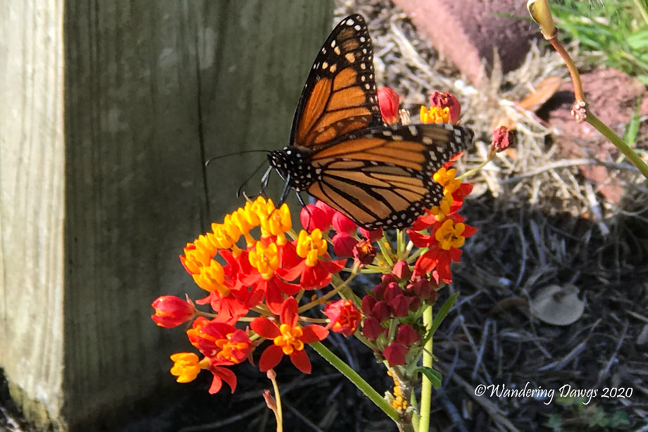 20200419-monarch-and-chrysalis-day-10-(2)