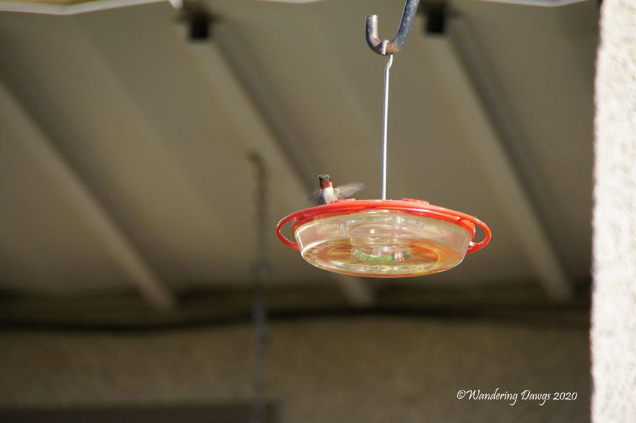20200512-Original Hummingbirds-and-Female-Bunting-(1)