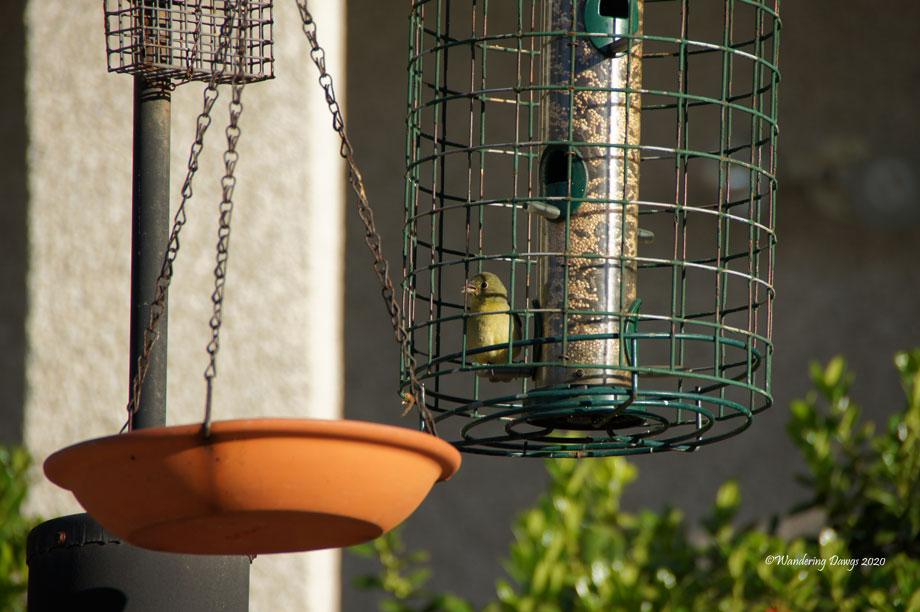 20200512-Original-Hummingbirds-and-Female-Bunting-(3)