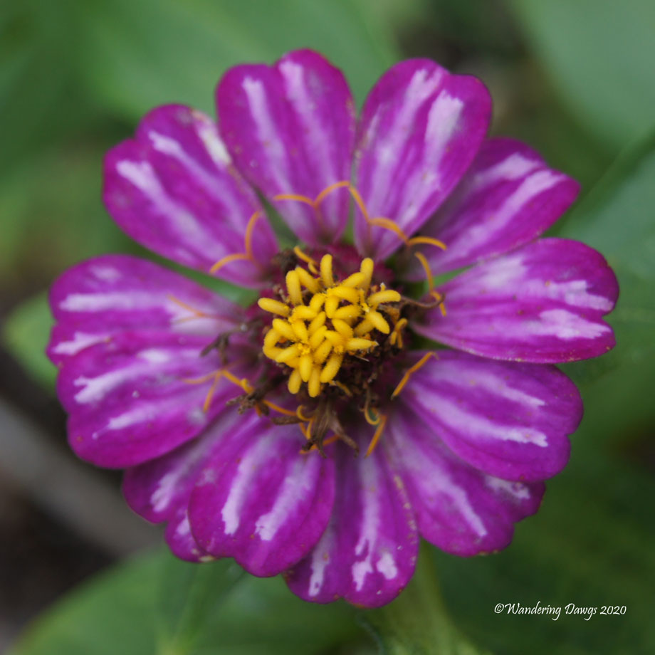 20200614-Garden-Flowers-(9)