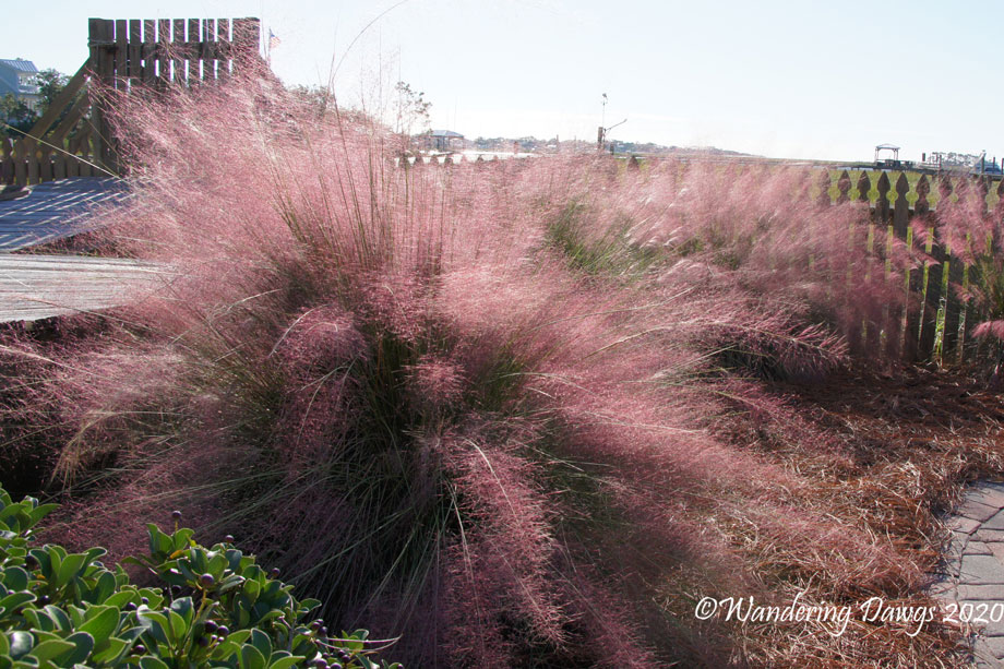 20171025Backyarad-Muhly-grass-(2)autumn
