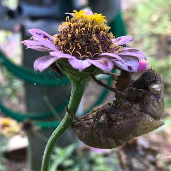 Cicada shedding it's skin