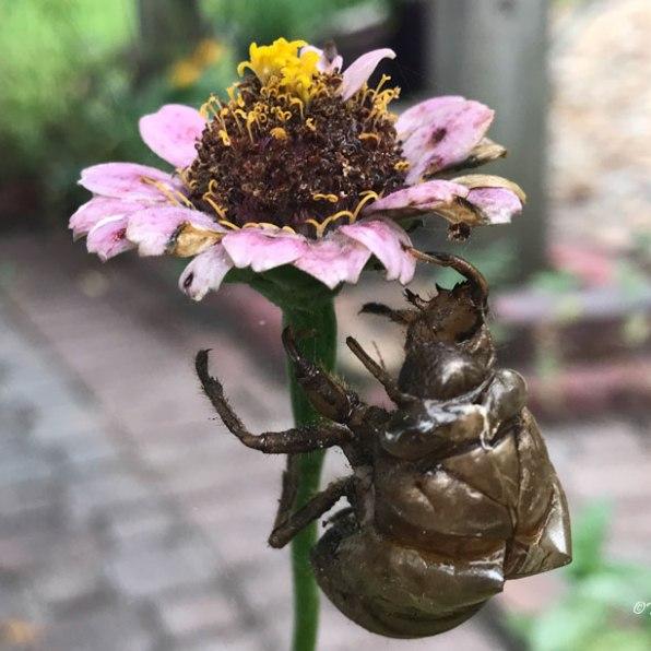 Empty cicada skin