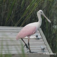 Roseate Spoonbill Sighting this week
