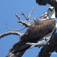 Bird Weekly Challenge - Birds That Eat Fish