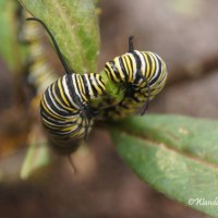 Hungry Monarch Caterpillars