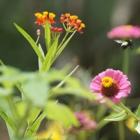Backyard Bees, Butterflies and Birds